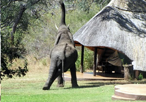 Elephant having a scrtach on a chalet